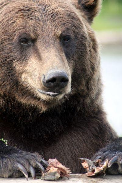 Grizzly Bear Alaska.jpg