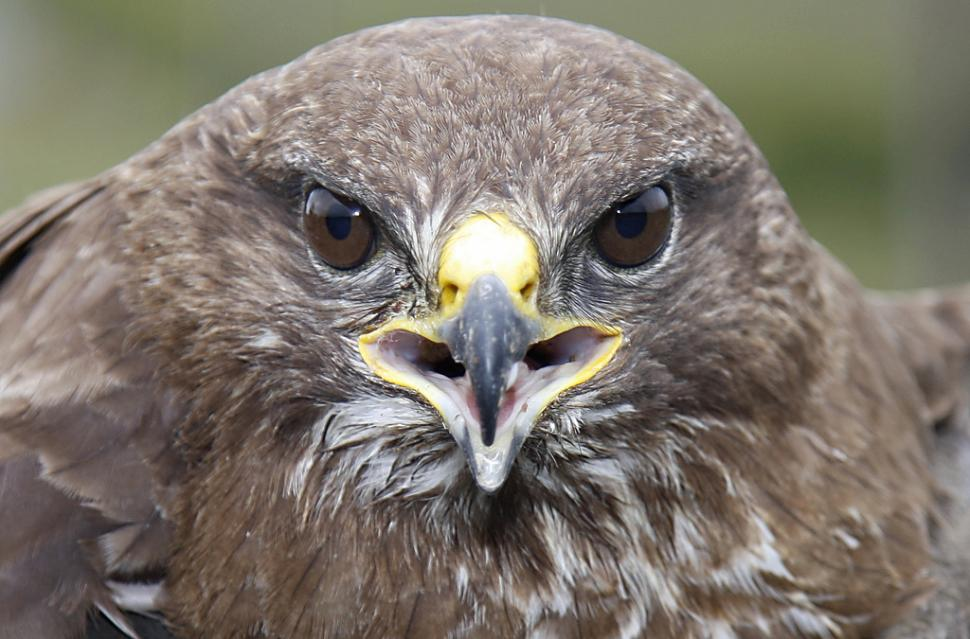 Buzzard Image by Flickr user leppre