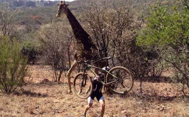 Giraffe Thought To Have Trampled Cyclist To Death Say