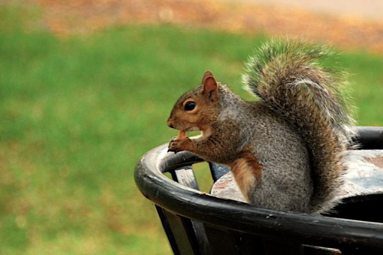 Chicago squirrel (CC licensed by chispita_666 via Flickr).jpg