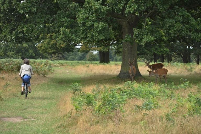 Cyclist and deer in Bushy Park (CC licensed by stevekeiretsu via Flickr).jpg