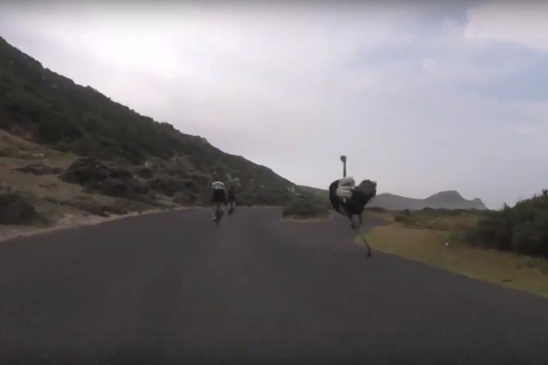 Cyclists chased by ostrich