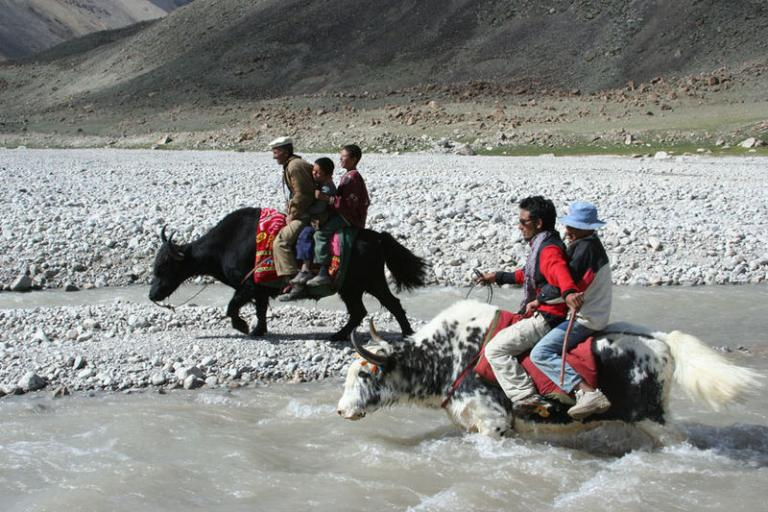 Yak racing (public domain)